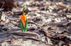 açafrão na floresta Imagens de Stock Royalty Free