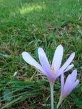 Açafrão na grama Foto de Stock Royalty Free