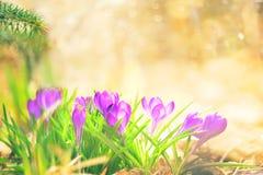 Açafrão na luz morna ensolarada Imagens de Stock Royalty Free