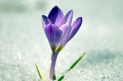 Açafrão na mola da neve fotografia de stock royalty free