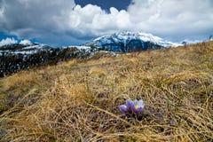 Açafrão na mola em um monte gramíneo nos montes de Alberta Fotos de Stock