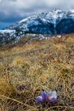 Açafrão na mola em um monte gramíneo nos montes de Alberta Foto de Stock Royalty Free