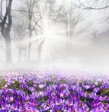 Açafrão na névoa Foto de Stock
