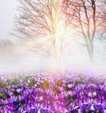 Açafrão na névoa Fotografia de Stock