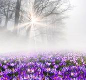 Açafrão na névoa Foto de Stock Royalty Free