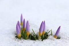 Açafrão na neve imagens de stock