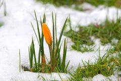Açafrão na neve Imagem de Stock
