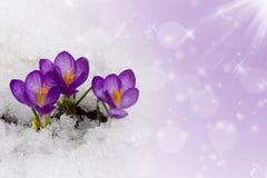Açafrão na neve Foto de Stock