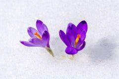 Açafrão na neve Fotos de Stock