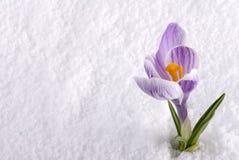 Açafrão na neve listrada Fotos de Stock Royalty Free