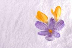 Açafrão na neve listrada e amarela Imagem de Stock