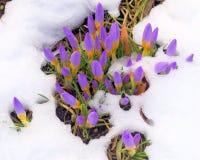 Açafrão na neve na primavera Imagens de Stock Royalty Free