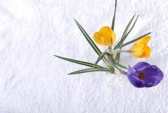 Açafrão na neve roxa e amarela Fotografia de Stock Royalty Free