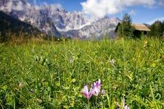Açafrão nas montanhas Imagem de Stock