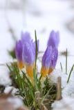 Açafrão no coberto de neve Imagem de Stock Royalty Free