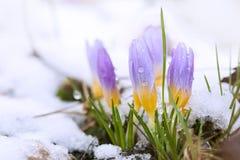 Açafrão no coberto de neve Fotografia de Stock Royalty Free