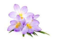Açafrão no fundo branco - a mola fresca floresce Fotos de Stock Royalty Free
