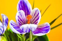 Açafrão no fundo colorido brilhante Apenas chovido sobre Imagem de Stock Royalty Free