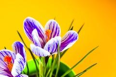 Açafrão no fundo colorido brilhante Apenas chovido sobre Fotografia de Stock Royalty Free