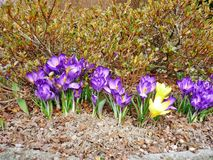 Açafrão no garden-1 Imagem de Stock