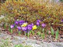 Açafrão no garden-2 Imagem de Stock Royalty Free