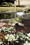 Açafrão no jardim Foto de Stock Royalty Free