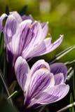 Açafrão no jardim Imagens de Stock Royalty Free