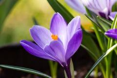 Açafrão no jardim Fotografia de Stock