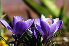 Açafrão no jardim Imagem de Stock Royalty Free