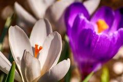 Açafrão no jardim Fotos de Stock Royalty Free