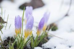 Açafrão no jardim coberto de neve Foto de Stock Royalty Free