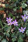 Açafrão no jardim da flor na primavera Fotografia de Stock Royalty Free