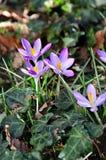 Açafrão no jardim da flor na primavera Foto de Stock Royalty Free