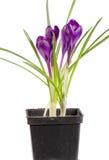 Açafrão no potenciômetro de flor isolado no close up branco do fundo Imagens de Stock Royalty Free