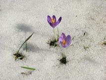 Açafrão no prado com neve de derretimento Fotos de Stock Royalty Free