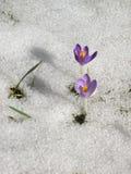 Açafrão no prado com neve de derretimento Fotos de Stock