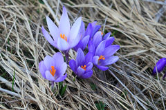 Açafrão no prado na primavera Imagem de Stock Royalty Free
