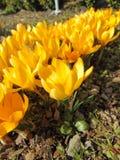 Açafrão que floresce na mola adiantada Fotografia de Stock