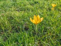 Açafrão que floresce no inverno, trazendo a esperança Fotografia de Stock Royalty Free