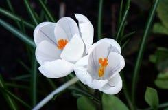 Açafrão que floresce no jardim Fotografia de Stock Royalty Free