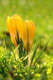 Açafrão que floresce no prado. Imagem de Stock Royalty Free