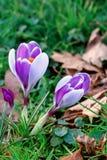 Açafrão que floresce no prado. Fotos de Stock Royalty Free