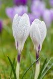Açafrão que floresce no prado. Foto de Stock Royalty Free