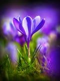 Açafrão que floresce no primeiro sol do março Imagens de Stock Royalty Free