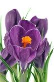 Açafrão roxo Imagem de Stock Royalty Free