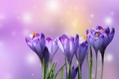 Açafrão roxo bonito no fundo colorido do bokeh Imagem de Stock Royalty Free