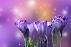 Açafrão roxo bonito no fundo colorido do bokeh Imagem de Stock