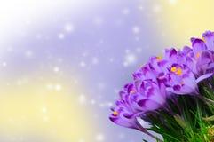 Açafrão roxo bonito no fundo colorido do bokeh Foto de Stock