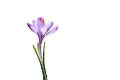 Açafrão roxo da flor da mola isolado no fundo branco Fotos de Stock Royalty Free