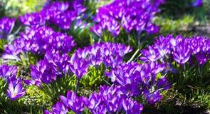 Açafrão roxo da mola em março Fotografia de Stock Royalty Free